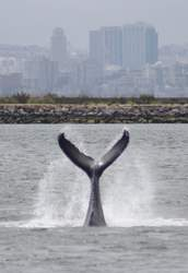 "Jim Grigg &nbsp&nbsp A humpback whale some locals have taken to calling ""Aloha"" has been entertaining crowds of whale watchers at Alameda Point's Seaplane Lagoon over the past week. Marine mammal scientists performed a biopsy to determine its health and gender."