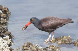 Rick Lewis &nbsp&nbsp The black oystercatcher, haematopus bachmani, is an Alameda resident.