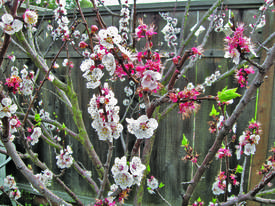 Courtesy photo &nbsp&nbsp The Blenheim Apricot will do well in Alameda if planted in a carefully chosen spot.