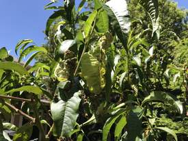 Courtesy photo &nbsp&nbsp Deformed leaves on an otherwise healthy peach tree are caused by peach leaf curl disease.