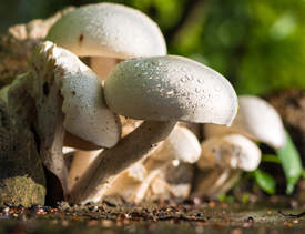 Courtesy photo &nbsp&nbsp Find out about the mighty mushroom next Thursday at Alameda Natural Grocery.