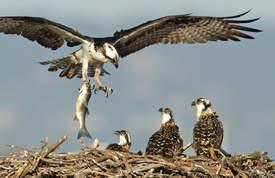 Thy Bun &nbsp&nbsp Dawn the osprey brings her brood a striped bass.